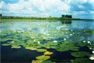 <p>В южной части озера, возле д.Тадулино, можно увидеть большие заросли белой кувшинки.</p>