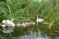 <p>В заболоченной южной части озера постоянно обитает семья лебедей.</p>