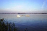 <p>Осенью лебедей можно наблюдать у самого берега.</p>
