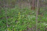 <p>Цветет ветреница, широко распространненная в наших лиственных лесах.</p>