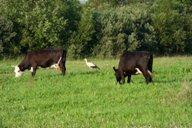 <p>В нашей местности обитает большое число аистов, которые любят походить рядом с пасущимися коровами.</p>