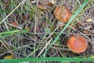 <p>Осенью и в наших лесам можно насобирать немного грибов.</p>
