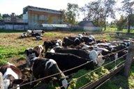 """<p>В теплое время года часть телят находится в загоне около фермы """"Вымно""""</p>"""